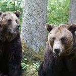 brown_bear_04