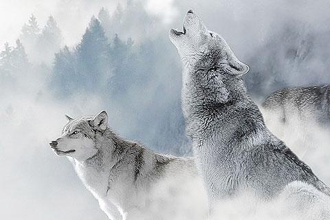 雪の中に佇む2頭の狼の写真